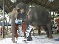 给大象装假肢